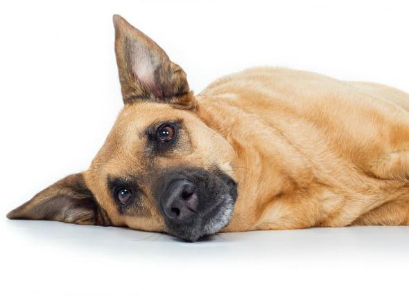 Trastorno intestinal (pérdida de la motilidad) en perros