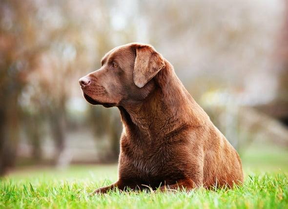 Tumor del tejido graso (benigno) en perros