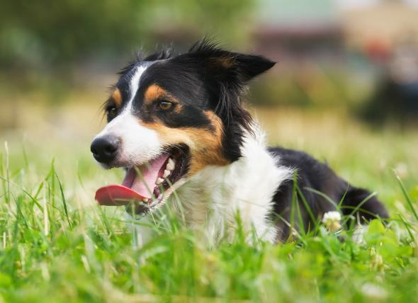 Aumento del riñón en los perros