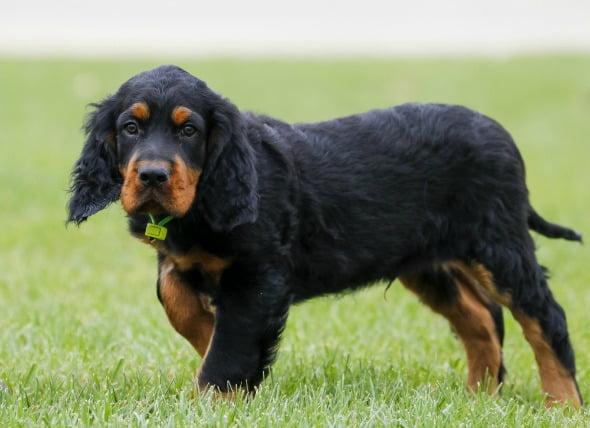 Cachorros estrangulados en perros