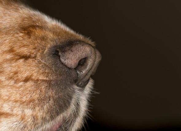 Cáncer de nariz (Condrosarcoma) en perros