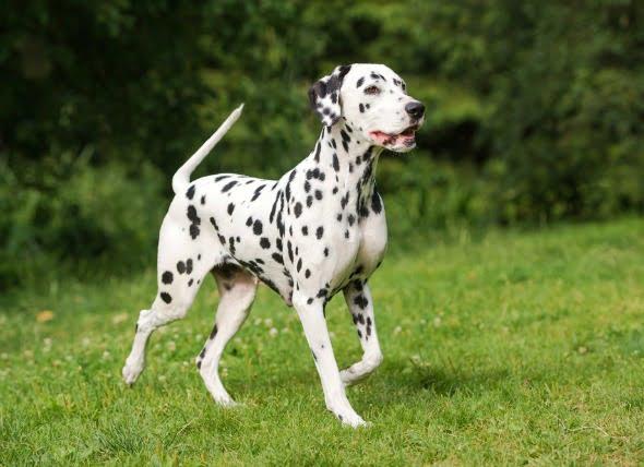 Cáncer de piel (carcinoma de células escamosas) en perros