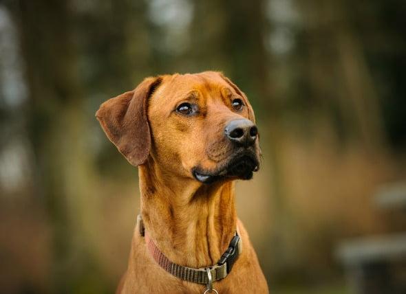 Choque debido a la disminución de la circulación en los perros