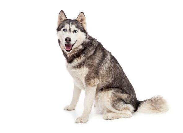 Condiciones de los ligamentos y tendones de la articulación del hombro en los perros