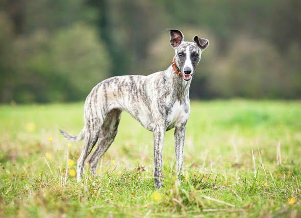 Consejos de seguridad para usar medicamentos preventivos contra el gusano del corazón en perros