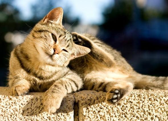 Control de pulgas y alergias a mordeduras de pulgas en gatos