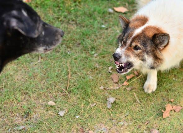 Cuando su perro es demasiado agresivo con otros perros