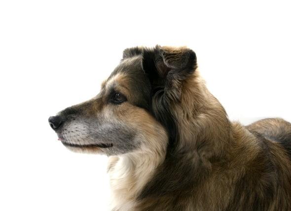 Dolor de cuello y espalda en los perros