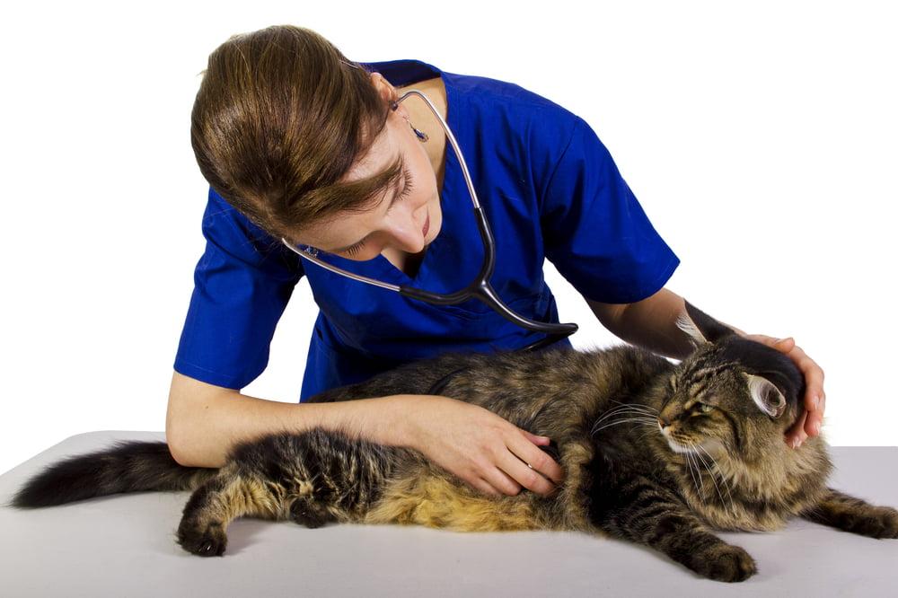 El endurecimiento fibroso de los pulmones en los gatos
