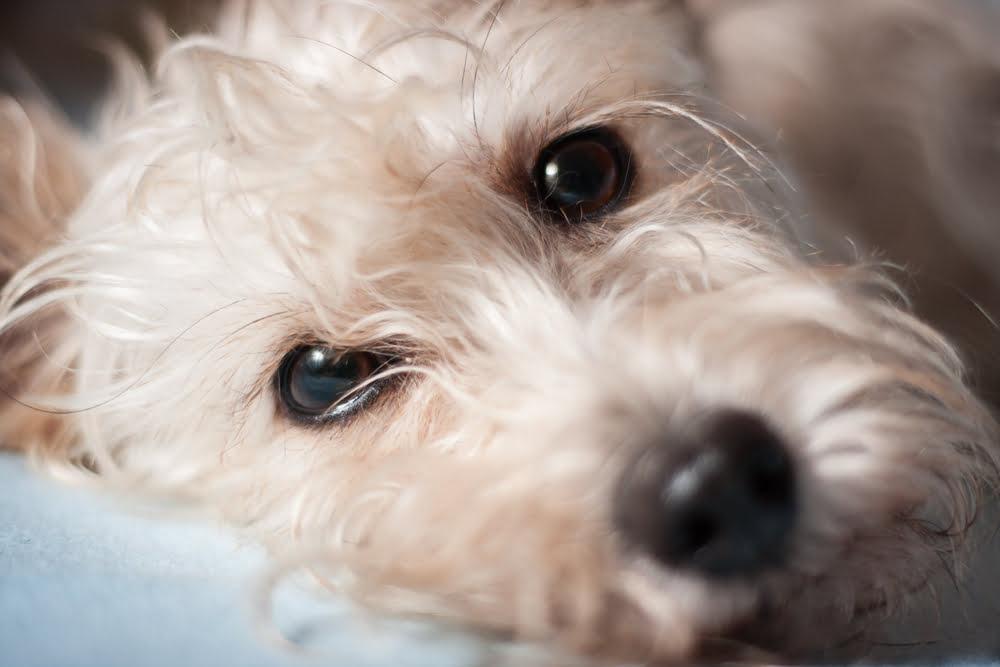 El tumor del ojo en los perros