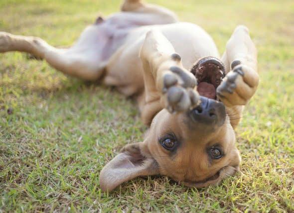 El virus de la verruga en los perros
