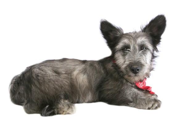 Enfermedad hepática (almacenamiento de cobre) en perros