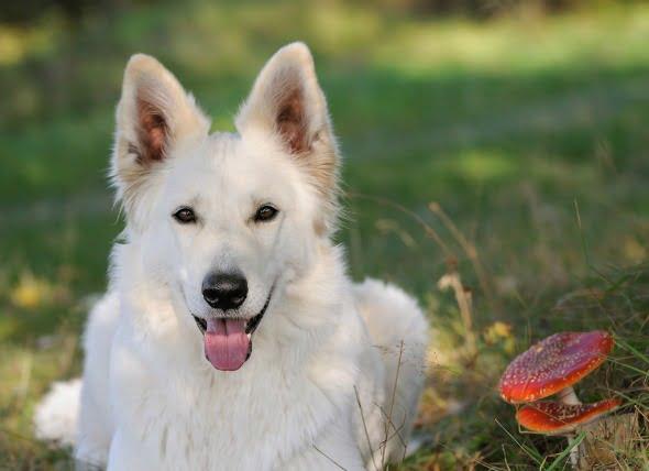 Envenenamiento por hongos, moho y levadura en perros