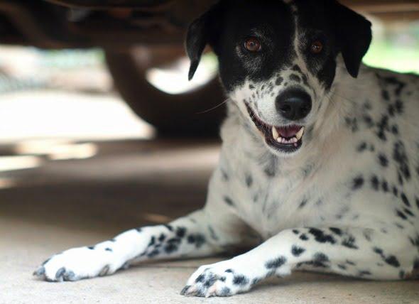Envenenamiento por productos de petróleo en perros