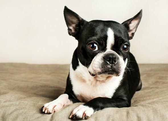Estrechamiento del canal pilórico en los perros