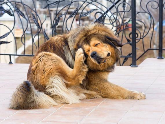 Garrapatas y control de garrapatas en los perros