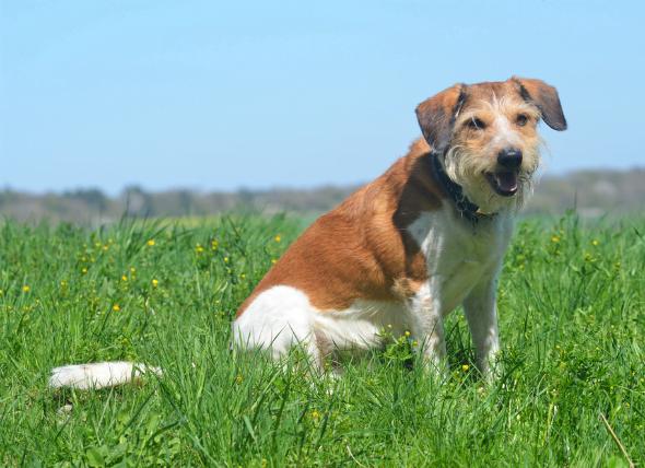 Hinchazón testicular en perros