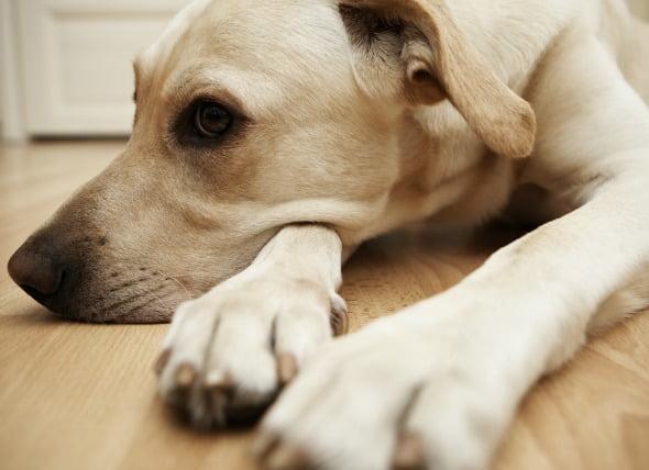 Infección parasitaria (Babesiosis) en perros