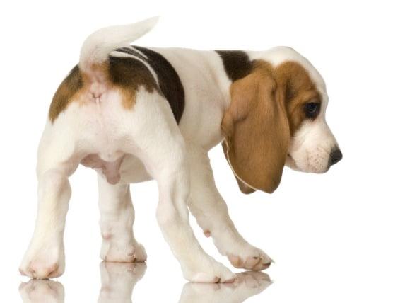 Infección parasitaria (Neosporosis) en perros