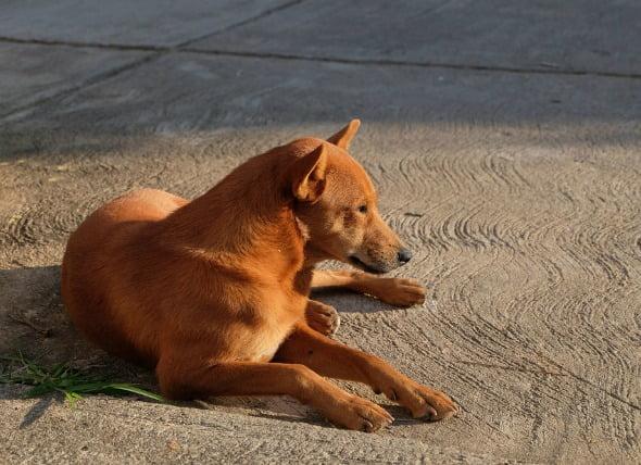 Infección parasitaria de la sangre (Hemobartonelosis) en perros