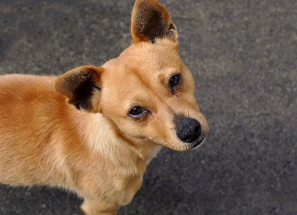 Infección por estafilococo en perros