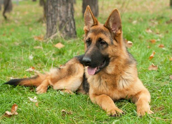 Infecciones de la piel y pérdida de los trastornos del color de la piel en los perros