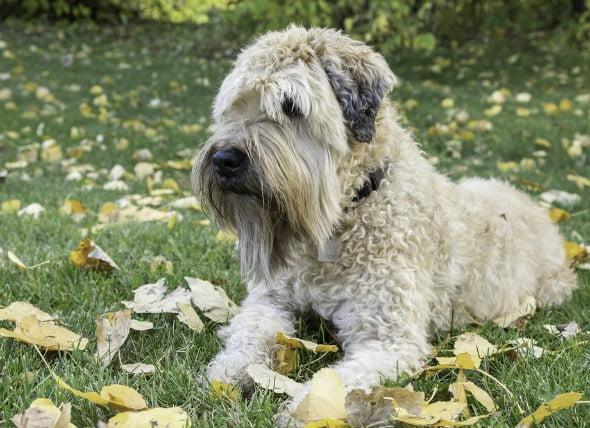 Inflamación de los ganglios linfáticos, tracto intestinal (linfangieasia) en perros