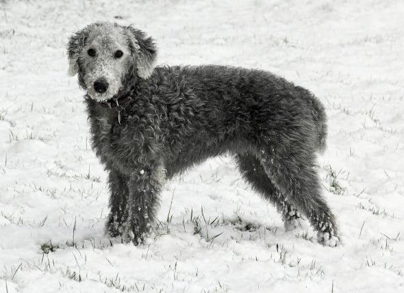 Inflamación del hígado (crónica) en perros
