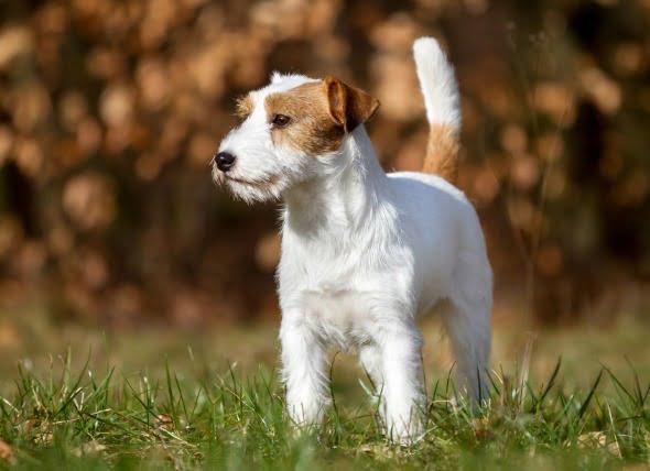 Inflamación del hígado (granulomatosa) en perros