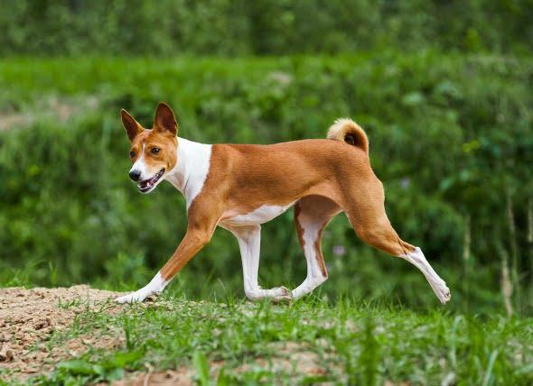 Inflamación estomacal a largo plazo en perros