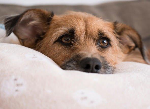 La enfermedad de Legg-Calvé-Perthes en los perros