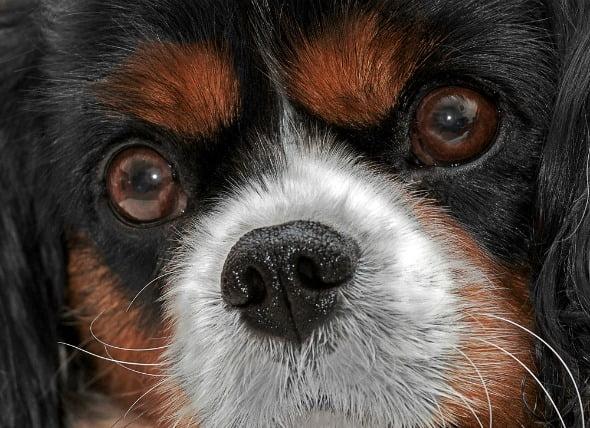 La separación del revestimiento interior del ojo en los perros