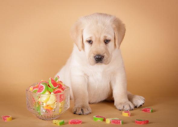 La toxicidad de la goma de mascar, los dulces y la pasta de dientes en los perros