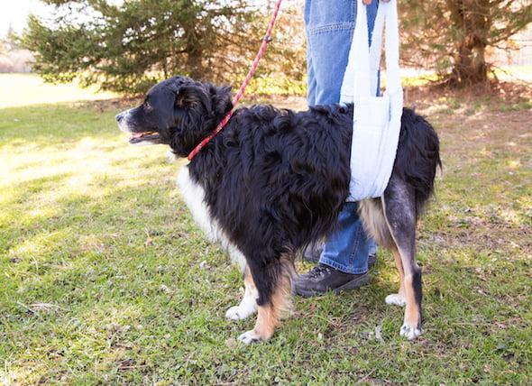 Ligamento de rodilla desgarrado en los perros