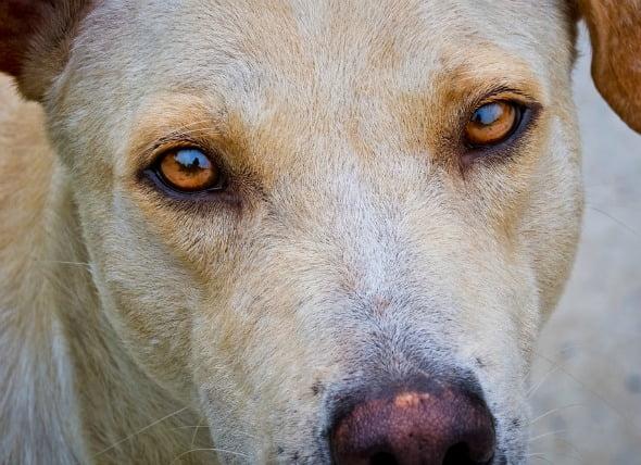 Movimiento ocular involuntario en los perros
