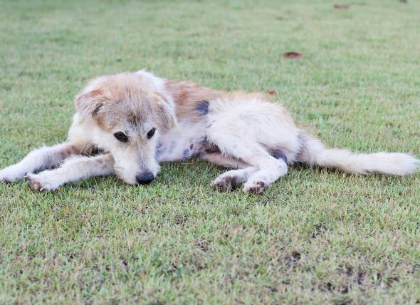Septicemia y bacteriemia en perros