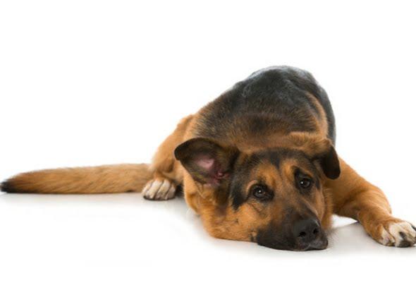 Signos y síntomas de la hinchazón en los perros