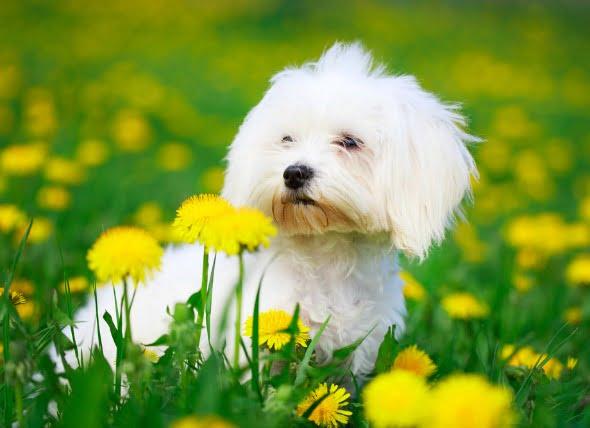 Síndrome del agitador en perros