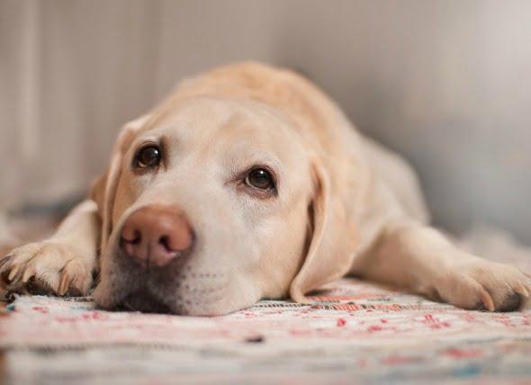 Tumor de la vaina del nervio en perros