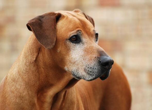 Tumor testicular (célula de Sertoli) en perros