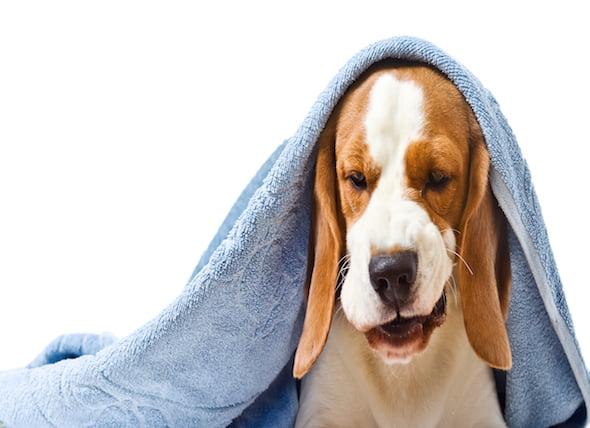 Vómitos con bilis en los perros