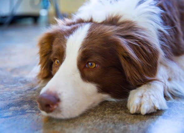 Vómitos de sangre en perros (Hematemesis)