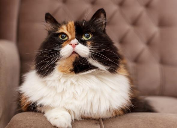 Artritis en los gatos: Síntomas y tratamiento de la osteoartritis en los gatos