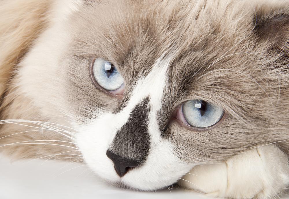 Coágulo de sangre en el corazón (aórtico) de los gatos