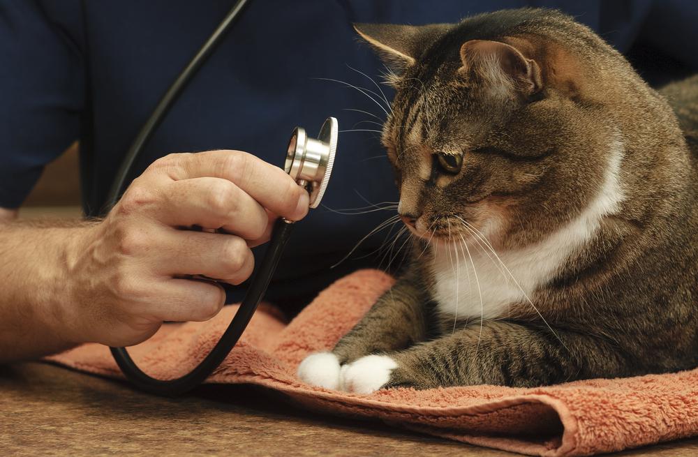 Colesterol alto en los gatos