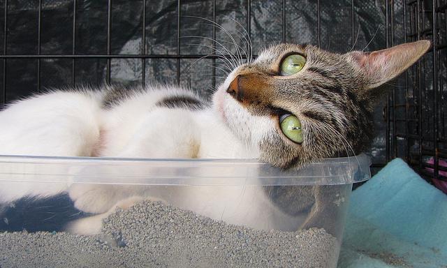 Cómo tratar la enfermedad idiopática del tracto urinario inferior felino