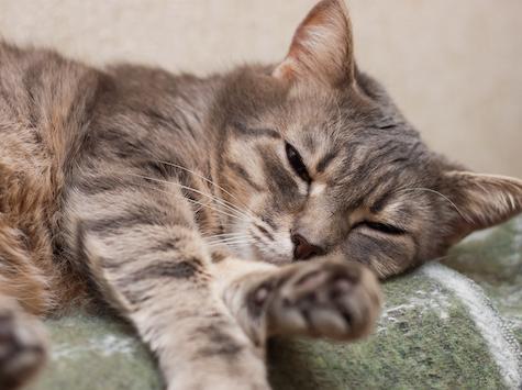 Cómo tratar la presión de la cabeza en los gatos