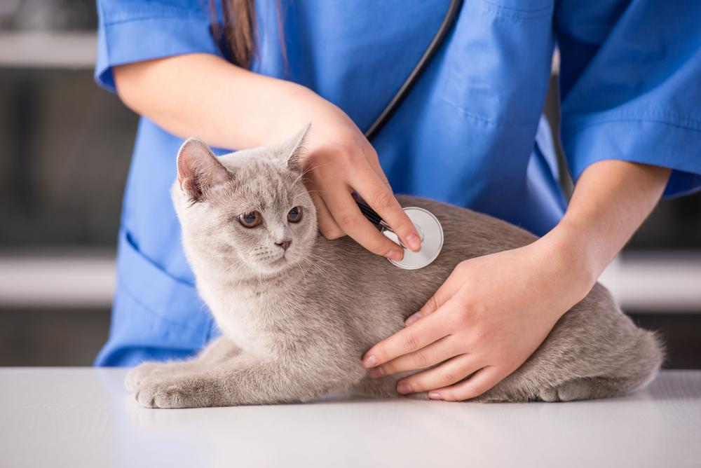 Corazón agrandado (Cardiomiopatía dilatada) en gatos
