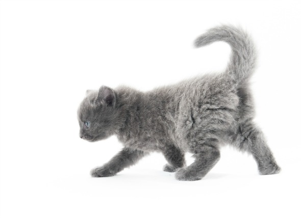 El gas en los gatos