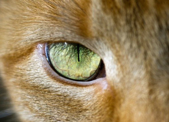 El glaucoma en los gatos